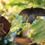 motyle vieden