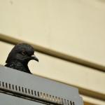 holub bologna
